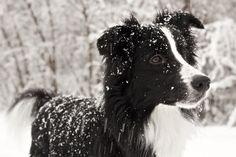 Border collie enjoying the snow! #germanshepherd