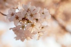 DC Cherry Blossoms at Sunrise