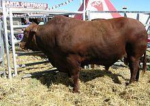 Santa Gertrudis cattle - Wikipedia, the free encyclopedia