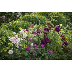 Highly Scented Rose Collection from Sarah Raven