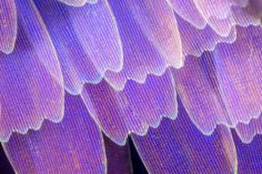 Macro Images of Butterfly And Moth Wings by Linden Gledhill Macro pictures is a portal to a magical world that makes up all the things round us and but is unseen to the bare eye. Biochemist and photographer Lin. Moth Wings, Insect Wings, Butterfly Photos, Butterfly Wings, Butterfly Necklace, Floaters And Flashes, Photo Macro, Macro Pictures, Micro Photography