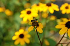 We are celebrating #PollinatorWeek at Smithsonian Gardens. Bee on a Brown-eyed Susan (Rudbeckia triloba) in the Butterfly Habitat Garden