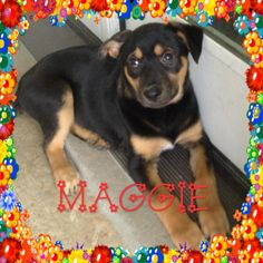 Meet Maggie, an adoptable Husky looking for a forever home. If you're looking for a new pet to adopt or want information on how to get involved with adoptable pets, Petfinder.com is a great resource.