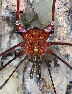 harvestman spider (Mitogoniella sp ?) - Brazil