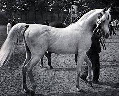 Kaisoon 1958 gr. s. (Nazeer x Bint Kateefa by Sid Abouhom)