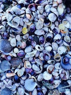 Ocean Sea Shells:  Pale blue #seashells.