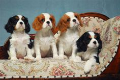 A lovely litter by Laughing Cavaliers - -Cavalier King Charles Spaniel