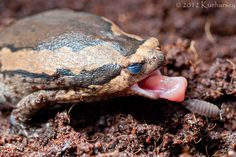 Kaloula pulchra / Asian painted frog mid-meal