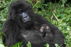Mountain gorilla families in the different sectors of Bwindi Impenetrable National Park- Uganda Safari News Primates, Mammals, Tanzania, Uganda, Gorilla Trekking, Baby Gorillas, Mountain Gorilla, Wildlife Safari, Extinct Animals