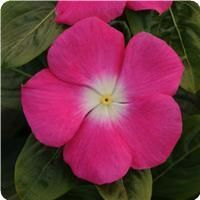 """Catharanthus roseus aka Madagascar Periwinkle """"Rose"""" Hardiness Degree: 0°F (-17.8°C) Blooms all season Mounded, Upright, Heat Tolerant, Attracts Butterflies, Bees, Low Maintenance. Height: 14 - 16"""" (35.6 - 40.6cm) Width: 10 - 12"""" (25.4 - 30.5cm) Exposure: Sun Add'l Info: Very low watering needs - outanding in sunny, hot and dry conditions. Largest of vinca flowers. Excellent in high light and temperatures. Do not overwater. Looks great with Coral Bells Citronelle! North Facing Garden, Periwinkle Flowers, Perennial Vegetables, Coral Bells, Low Maintenance Plants, Ornamental Grasses, Summer Flowers, Wonders Of The World, Gardening Tips"""