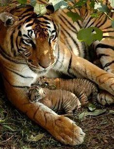 ^Mama tiger and her cubs / animaux / félin / tigre / bébé / rayures / mignon Animals And Pets, Baby Animals, Cute Animals, Wild Animals, Animals Images, Beautiful Cats, Animals Beautiful, Beautiful Family, House Beautiful