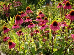 Coneflowers for All: Purple conelowers by JantasticPhotos on Etsy