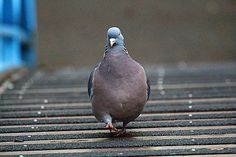 Wood pigeon - George Hart