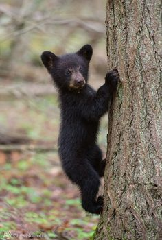 did you know bears can climb trees wildlife pinterest animal