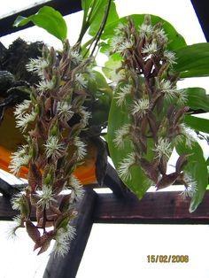 Catasetum barbatum. Orchidaceae: Catasetinae. By Dione Douglas. [x]
