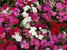 Phlox Drummondii Mix  isi 35 benih  Bunga musim semi yang cocok untuk perbatasan, di taman, pot atau taman batu. bisa sebagai bunga potong.  Tingginya mencapai 8 -15 inci ( 1 inci =2.5cm) dan bisa menyebar sampai 12 inci lebarnya. Bunganya berukuran 1.5 inci diameternya. Bunga yang harum ini ada berbagai macam warna ada pink, merah, lavender dan putih.  10k minat sms/wa 085777119992  Pin bb id silky 54732db8 Line id silkynazma