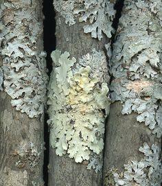 23269 Lichen by horticultural art, via Flickr