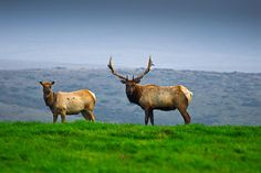 Thule Elk at the Pt. Reyes National Seashore in California. Awesome!