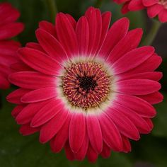 Learn Gerbera Daisy care and enjoy displays of bright, colorful inch flowers, wide color variety. Growing and care tips indoors and out [DETAILS] Gerbera Daisy Care, Gerber Daisies, Gerbera Daisy Tattoo, Gerbera Plant, Gerbera Jamesonii, Exotic Flowers, Tropical Flowers, Beautiful Flowers, Everlasting Sweet Pea