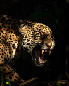 Jaguar Tier, National Geographic, Jaguar Tattoo, Badass Pictures, Jaguar Animal, Bad Cats, Animal Photography, Wild Photography, Panther