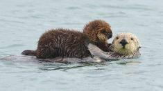 Sea Otter - Animal profile, pictures, facts, range map