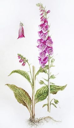 Botanical Art Online with Dianne Sutherland, botanical art courses Illustration Courses, Nature Illustration, Floral Illustrations, Vintage Botanical Prints, Botanical Drawings, Botanical Flowers, Botanical Art, Illustration Botanique, Art Courses