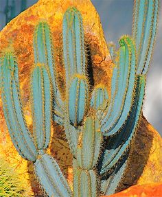 Pricked by a cactus thorn, now you are wondering if cactus poisonous is a thing or not. Here are some tips, tricks that will guide to cactus thorns. Cacti And Succulents, Planting Succulents, Planting Flowers, Cacti Garden, Succulent Planters, Hanging Planters, Flowering Succulents, Succulent Arrangements, Cactus Planta