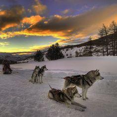 Sled dogs taking a break.