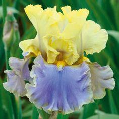 Bollywood Tall Bearded Iris