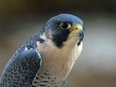 Resultado de imagen de halcones