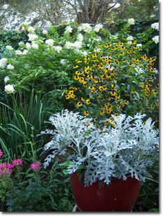 Dusty miller for a shade container Dusty Miller, Deer Proof Plants, Garden Yard Ideas, Balcony Garden, Garden Projects, Backyard Ideas, Potted Plants Patio, Deer Resistant Garden, Garden Whimsy