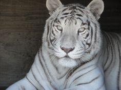 Sierra_white_tiger_in_den