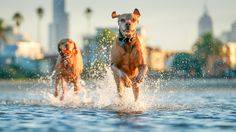 Is Your Vizsla Driving You Crazy? Make Massive Change To Your Vizsla`s Behaviour in Just 1 Day! Click the Link to get FREE Video Training NOW. All Dogs, Dogs And Puppies, Need For Speed, Free Dogs, Image Editing, Dog Training, Lightroom, Behavior, Dog Lovers