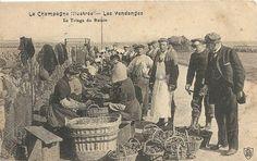 Vendanges (métier ancien)