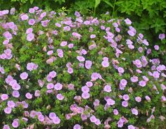 初夏に咲く!丈夫で育てやすく、花が美しいオススメの宿根草5選 | GardenStory (ガーデンストーリー) Life Space, Gardening, Plants, Products, Garten, Flora, Plant, Lawn And Garden, Beauty Products