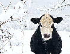 Winter Cow  by Eli Adams