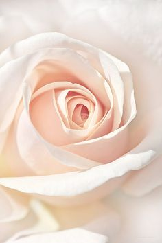 The Angel's Peach Rose Flower by Jennie Marie Schell Exotic Flowers, Pretty Flowers, Pastel Flowers, Tout Rose, Perennial Flowering Plants, Most Popular Flowers, Flower Artists, Just Peachy, Flower Wallpaper