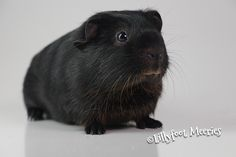 Glatthaar Meerschweinchen in Schwarz-Rot-Loh (Black-Tan)