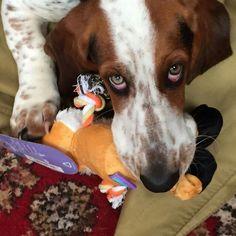 One of our many happy Ruby & Duke #Dukebox dog toy and treat customers www.rubyandduke.com. #dogsofpinterest #dogsofinstagram #dogs #puppy #puppies #dogoftheday #bowwowtimes