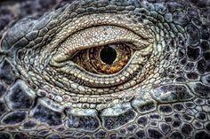 The eye - - Dragons - - reptiles. The eye - - Dragons - - reptiles. Reptiles and Amphibians reptilestrd Amazing Reptiles The eye - - Dragons - - reptiles. Reptiles and Regard Animal, Reptile Eye, Animals And Pets, Cute Animals, Eye Close Up, Fotografia Macro, Dragon Eye, Foto Art, Mundo Animal