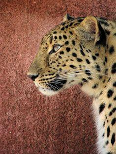 Amur Leopard(Milan Vorisek)
