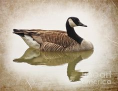http://fineartamerica.com/featured/canada-goose--vintage-style-shawna-rowe.html