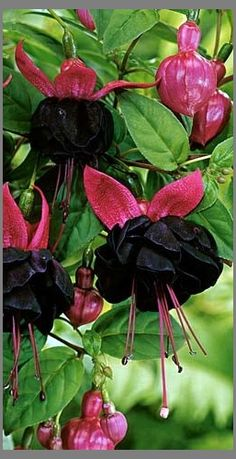 //Black and pink fucsia #flowers - nunca vi...