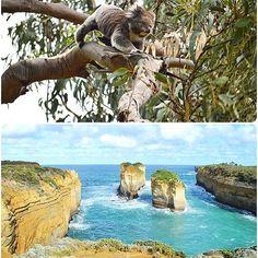 Aujourd'hui venez rencontrer les koalas et vous balader avec moi le long des falaises magiques de la Great ocean Road... Rdv sur le blog! Today lets meet koalas and walk together along the magical cliff of the Great ocean road... On the blog! #australia#greatoceanroad#blog #bloglife #bloglifestyle #travel#voyage#blogvoyage#koala#animal#wildlife#cliff#australie#frenchinlondon #francaisalondres by happychantilly