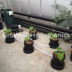 Cucumber Plants in an IWS Flood & Drain System (Side View) in GroWell Hydroponics Sheffield
