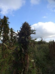 18 october, last fast bud plants got harvested. this bud could not be any denser!
