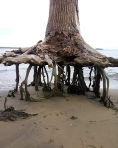 Unique Trees, Tree Roots, Nature Images, Photos Of The Week, Natural Wonders, Natural World, Botany, Mother Nature, Nature Photography