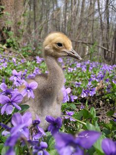 Baby duck among the violets. Custom Woodworking, Woodworking Projects Plans, Cut Animals, Wild Animals, Baby Ducks, Detailed Drawings, Vintage Trucks, Wild And Free, Little Babies