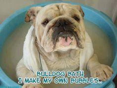 #english #bulldog #dogs #animals #pets #funny