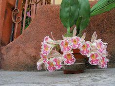 Trichopilia suavis. (Eduardo Rojas Rodriguez) Tags: costa orchid flor rica orquidea eduardo rodriguez rojas trichopilia suavis